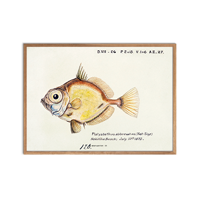 Abbrevatus Fisk