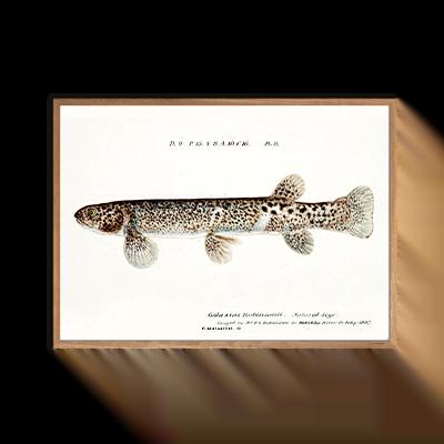 Galaxias Robinsonii fisk